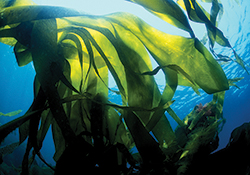Macroalgae cell culture: a recent cosmetic trend