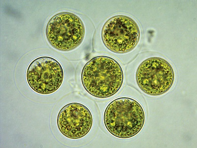 Ancient microalgae to provide the eternal Asian skin look